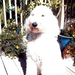 Molly the Goldendoodle